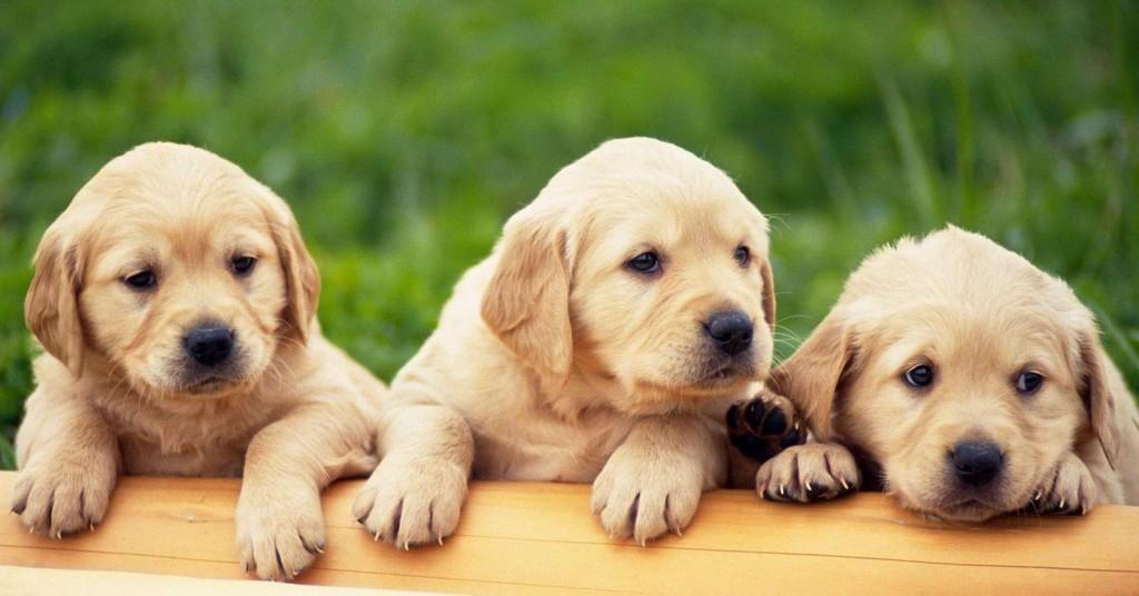 Fotos de cachorros para fondo de escritorio