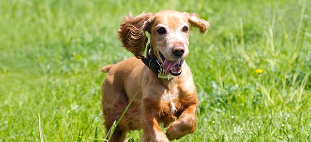 Fotos de perros de raza cocker spaniel corriendo