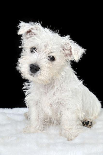 Imagenes de perros de raza westie