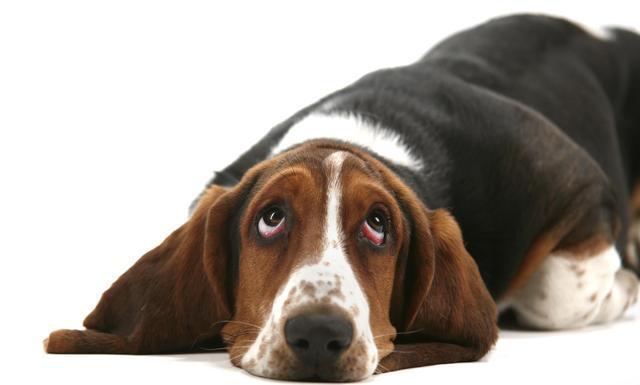 Imagenes de perros que muestran tristeza en su cara