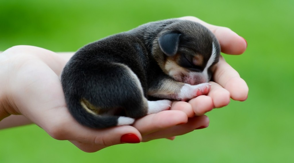 Perrito pequeño para fondo de pantalla