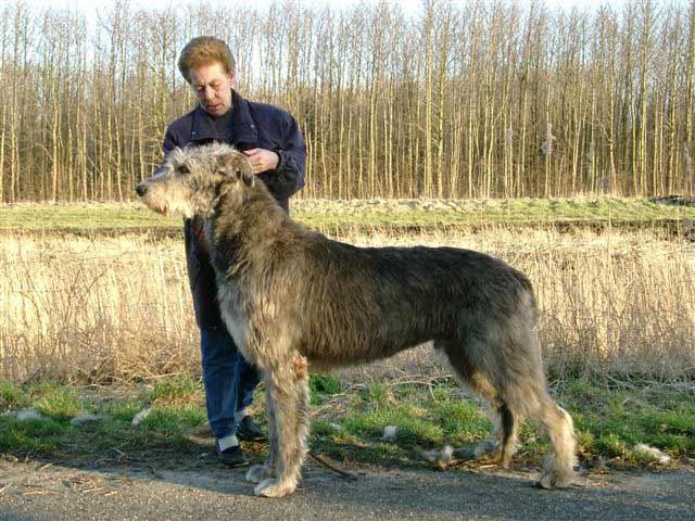 Raza de Perro Lebrel Escocés