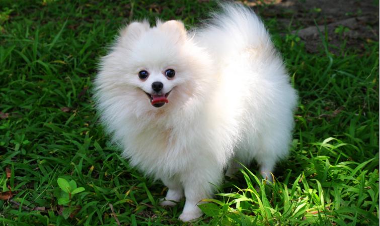 Cachorro perro pomerania imagen