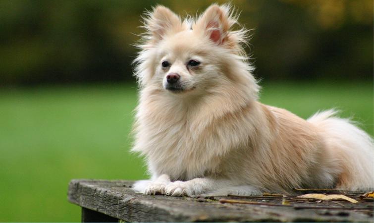 Foto de perros pomerania