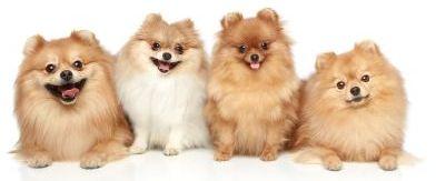 Grupo de perros pomerania