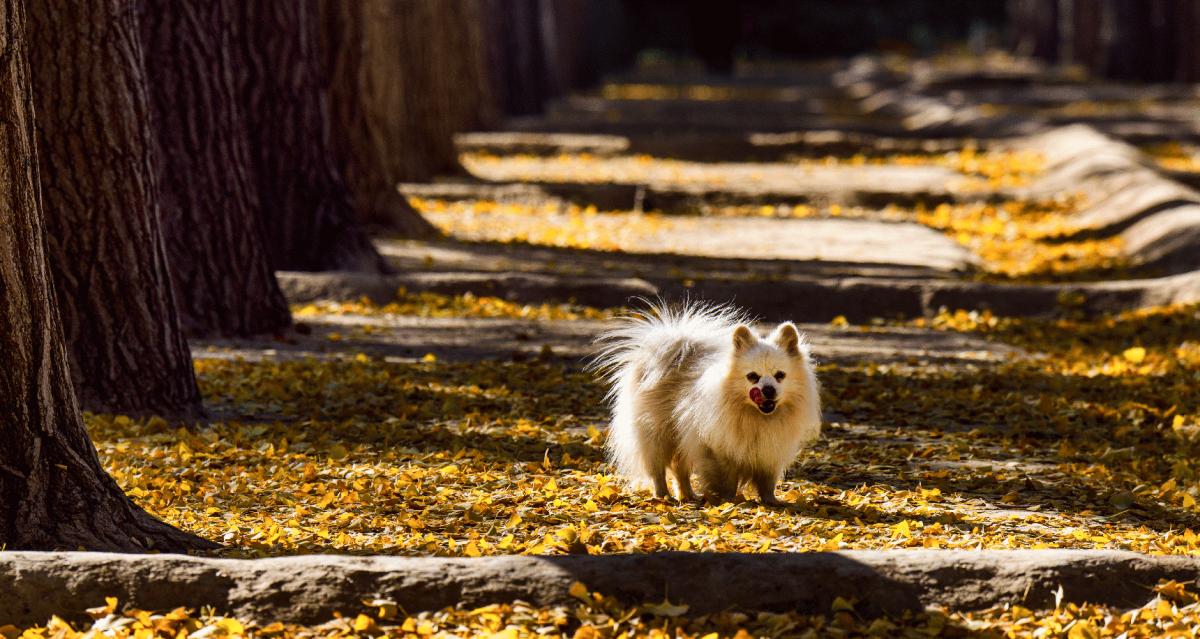 Hermosa imagen para fondo de pantalla de perros pomerania