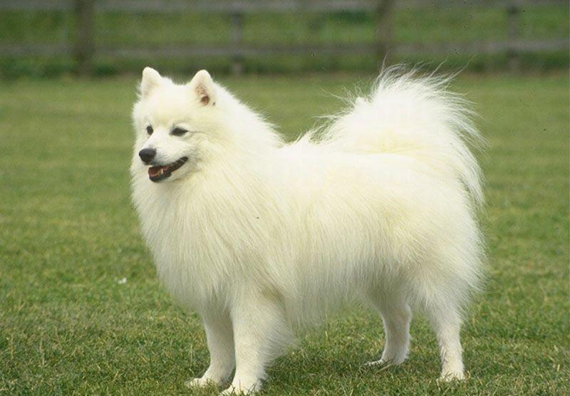 Imagen perro pomerania blanco
