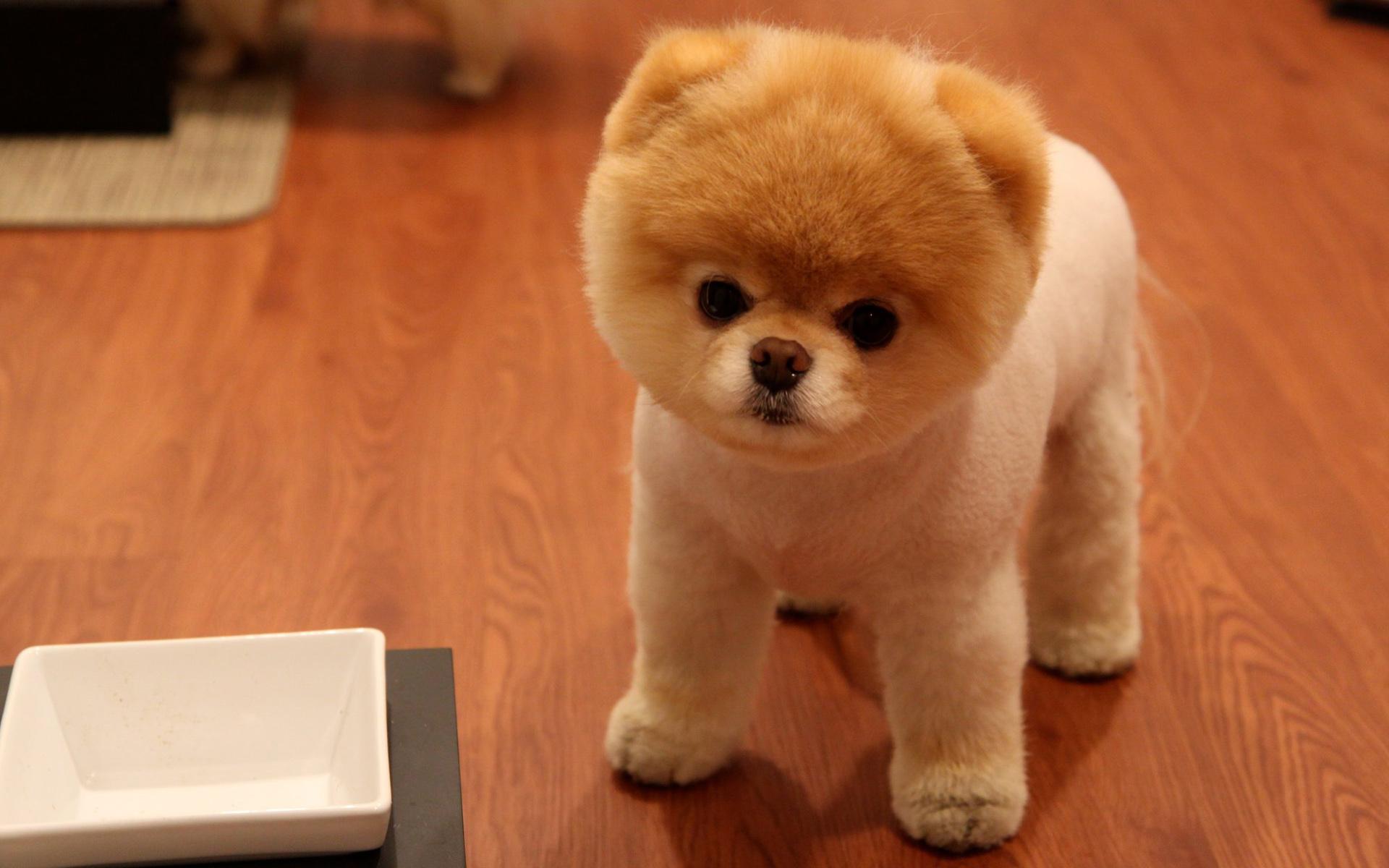 Imagen super tierna de un perro pomerania