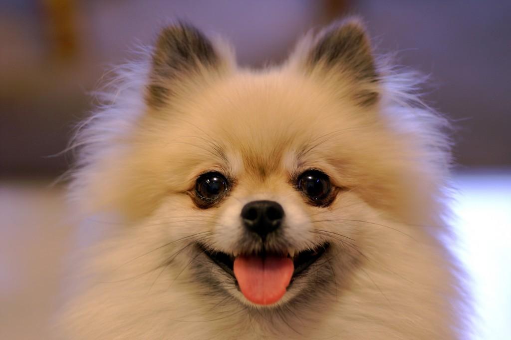 Tierno perro pomerania imagen