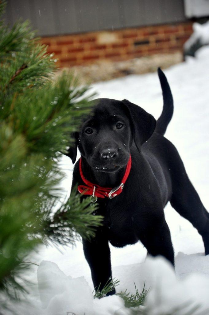 imagenes-de-perros-negros-navidenos-para-fondo-de-celular