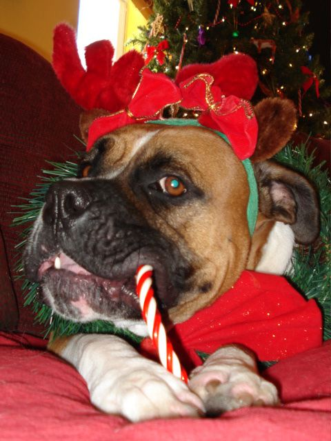 imagenes-de-perritos-comiendo-dulces-navidenos