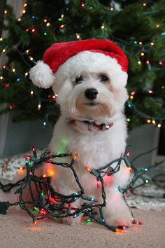 imagenes-de-tiernos-perritos-enredados-en-las-luces-de-navidad