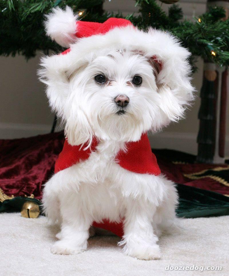 imagenes-de-tiernos-y-lindos-perritos-navidenos