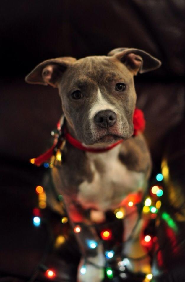 imagenes-lindas-de-perros-navidenos-para-fondo-del-iphone