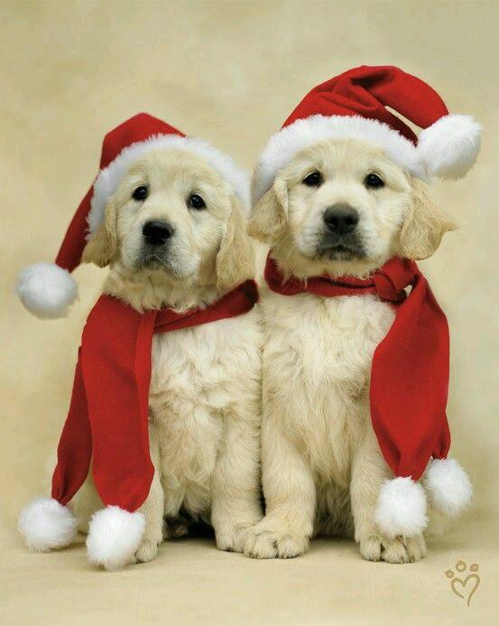 tierna-imagen-de-perritos-con-gorro-de-navidad-rojo