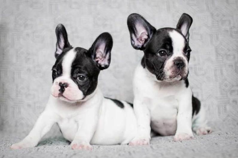 Adorable Imagen de Unos Cachorros bulldog frances