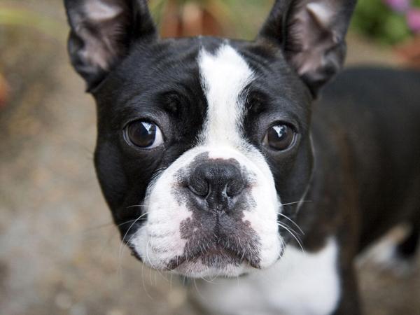 Bonitas imagenes del bulldog frances