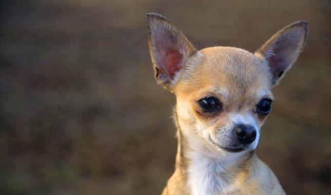 Descargar imagenes de perros chihuahua