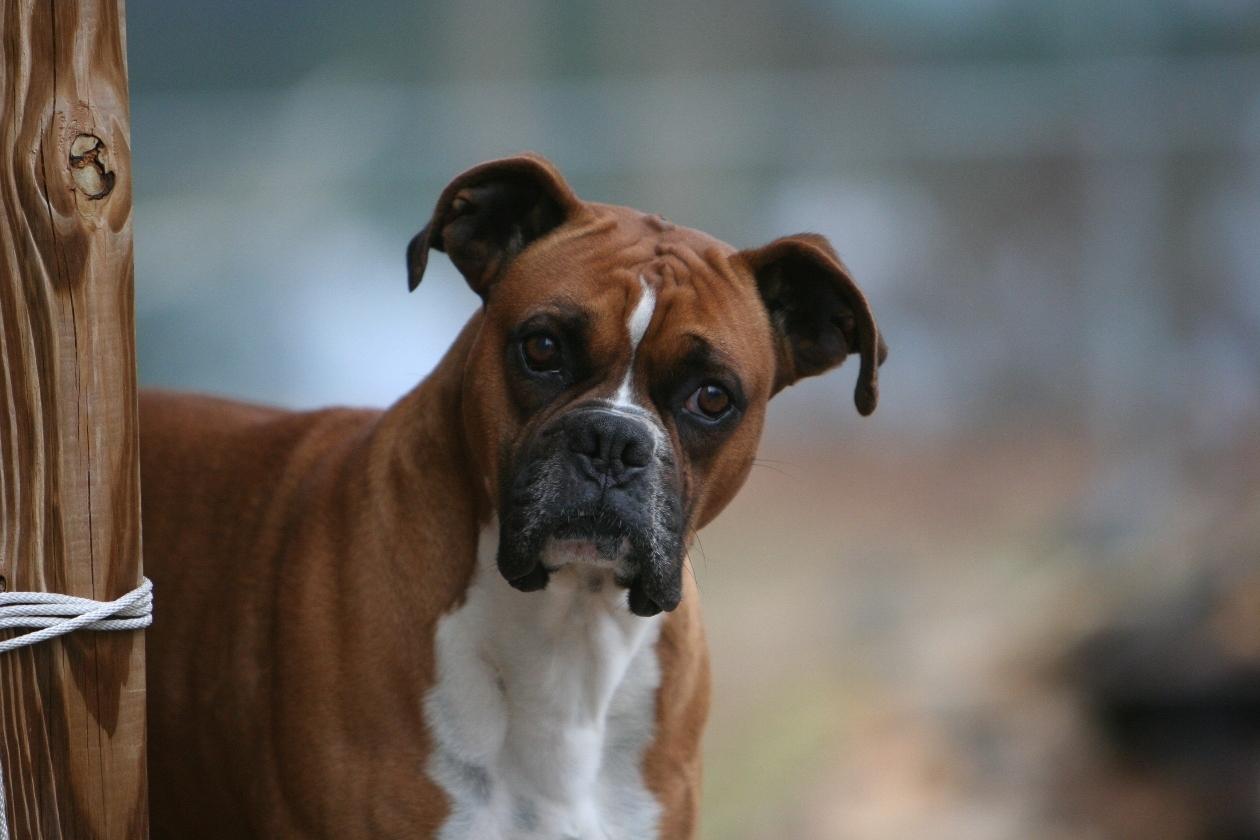 Fondos De Pantalla De Perros Boxer