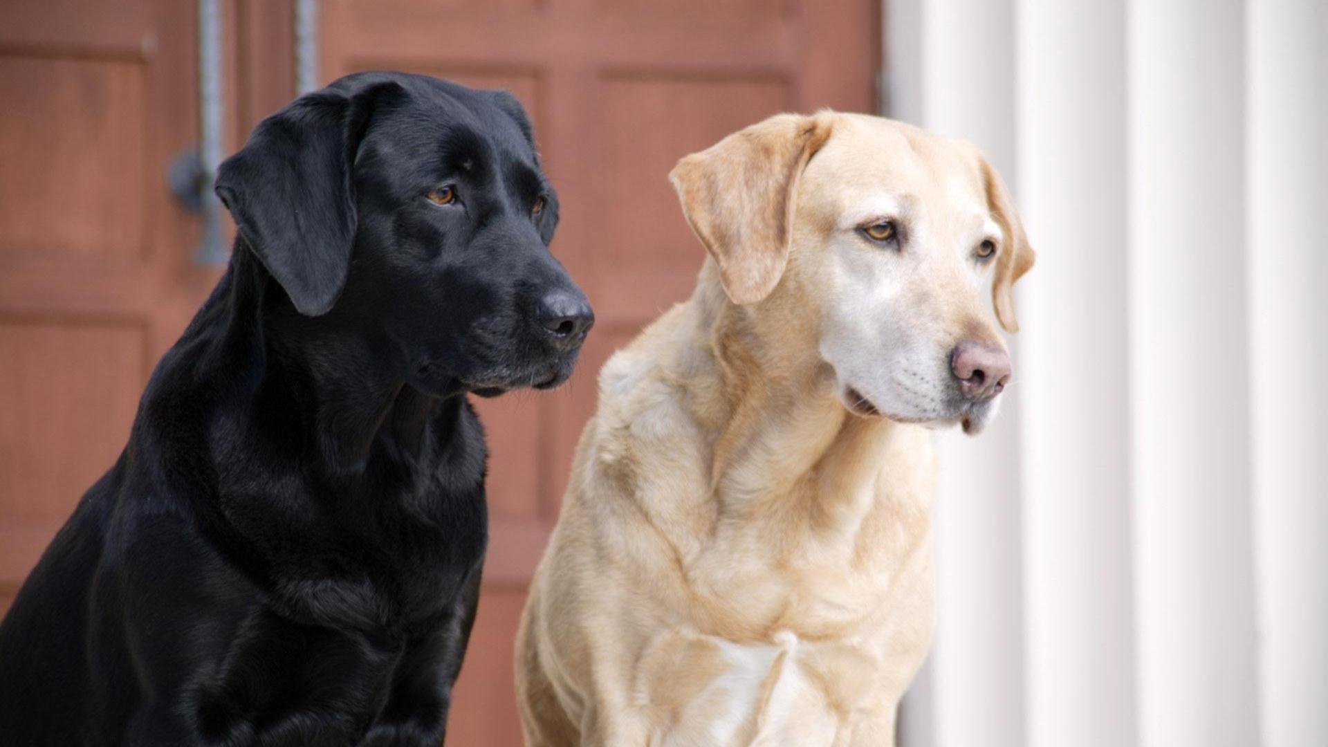 Fondos de escritorio de perros labradores