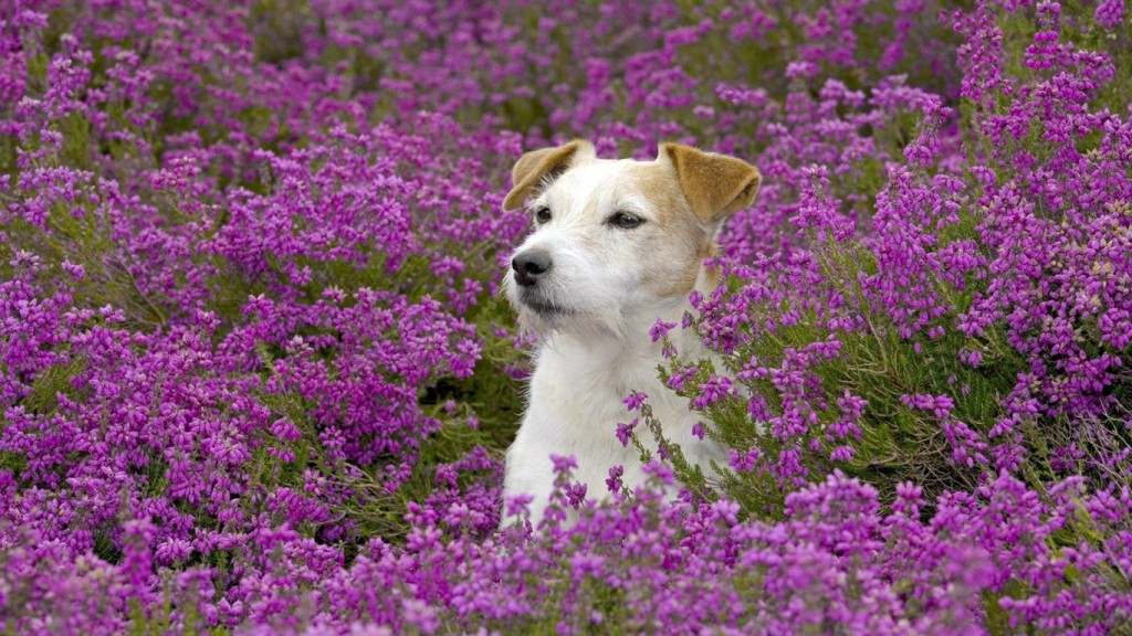 Fondos de pantalla de perros en un campo de flores