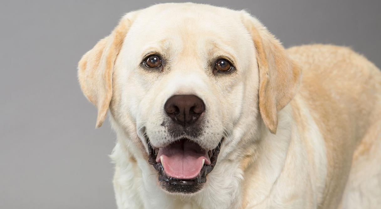 Fondos de pantalla de perros labradores