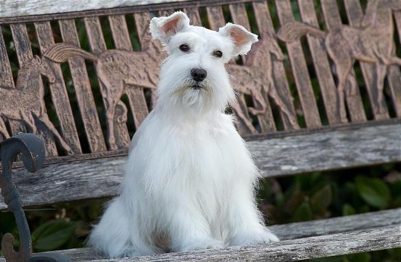 Foto de calendario de un perros schnauzer blanco