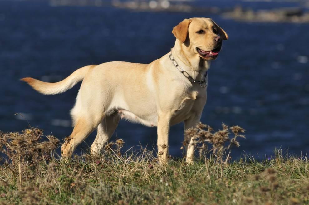 Foto de perro labrador para fondo de pantalla