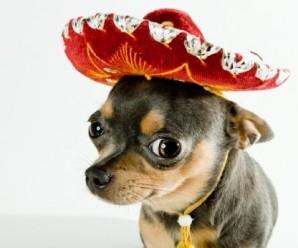 Fotos De Perros De Raza Chihuahua