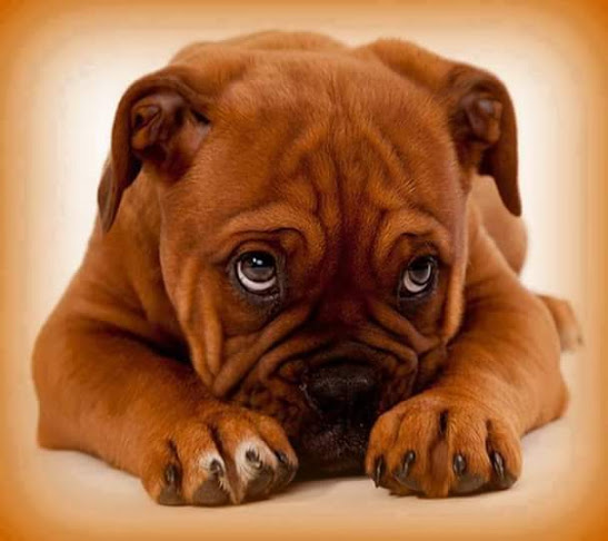 Fotos de perritos con carita triste