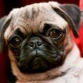 fotos de perros de la raza Pug para fondo de pantalla