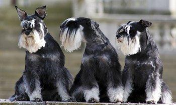 Fotos de perros de raza schnauzer miniatura