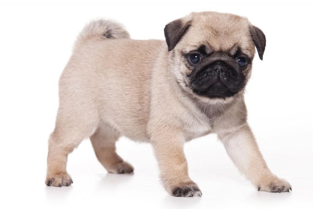 Fotos de perros pug para fondo de escritorio