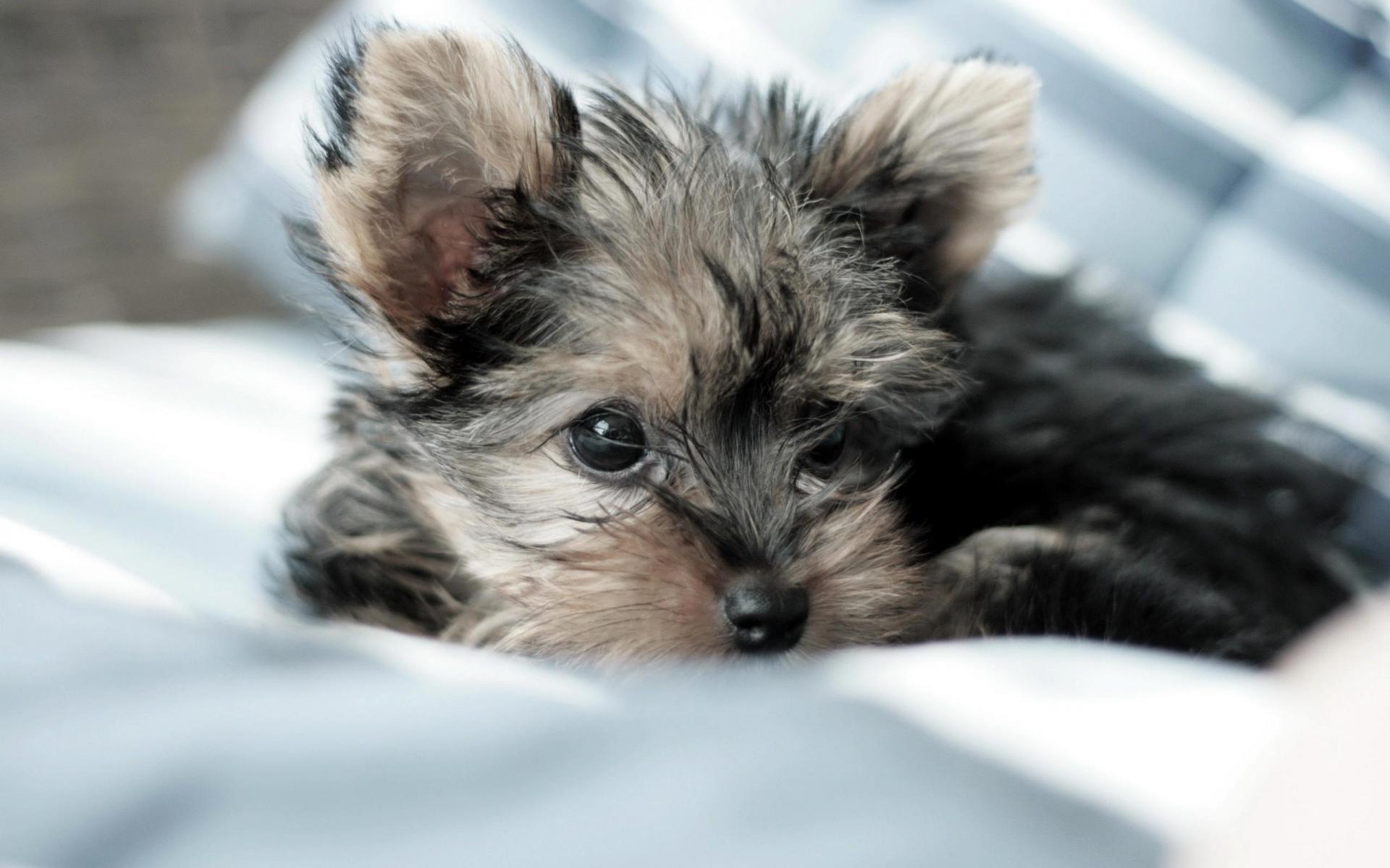Fotos de un perrito de raza yorkshire terrier