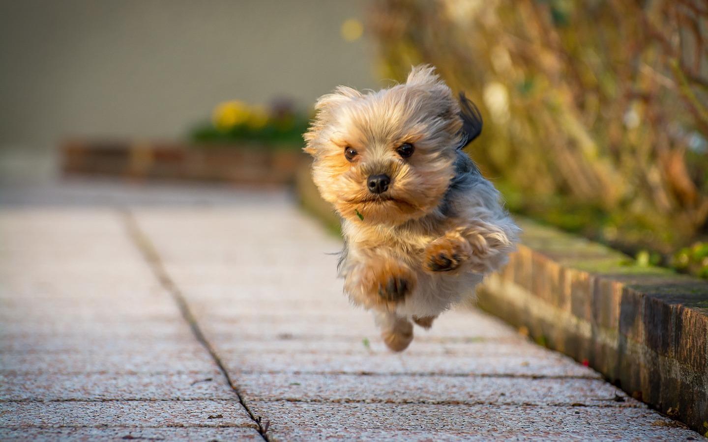 Fotos de un perrito yorkshire terrier corriendo