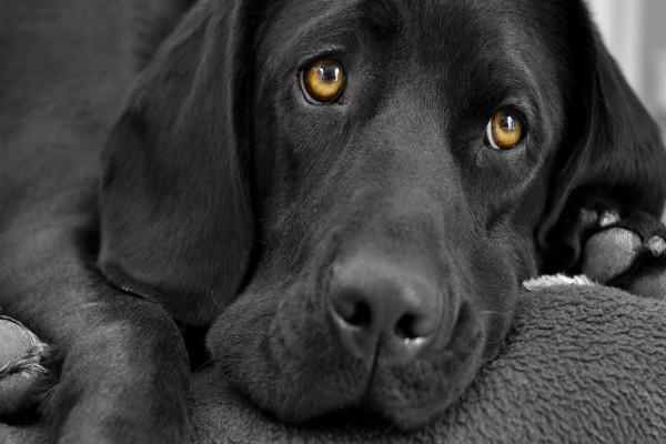 Imagen de perro negro con cara triste