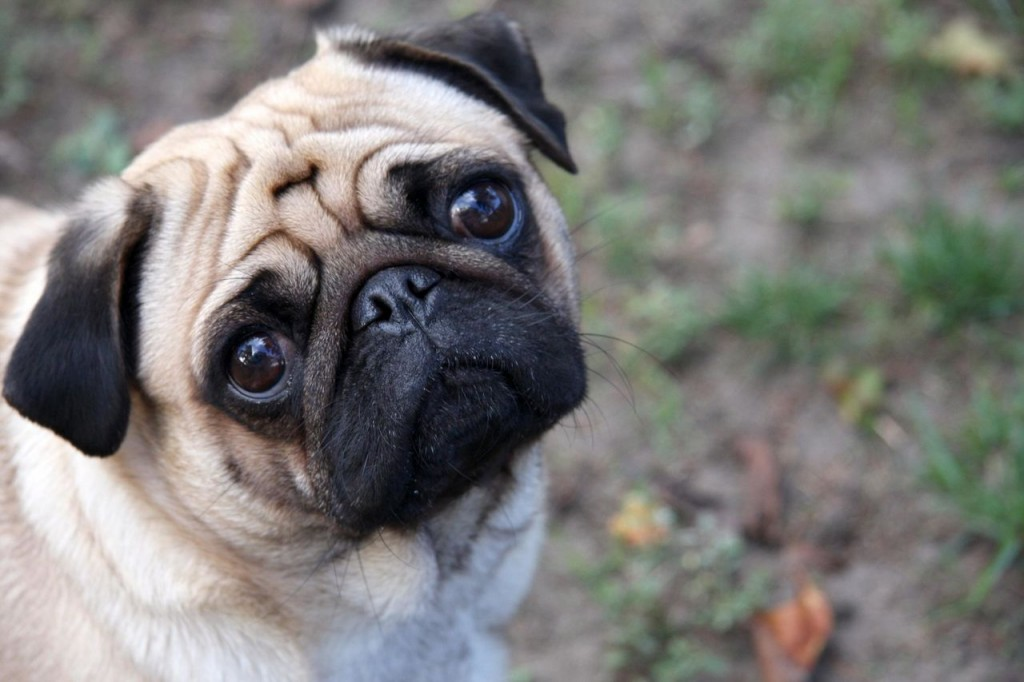 Imagen de perro pug triste para fondo