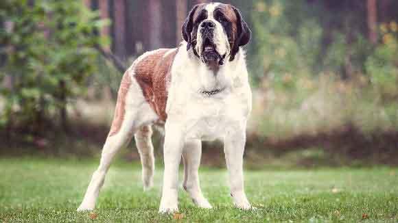 Imagenes de la raza de perro grande el San Bernardo