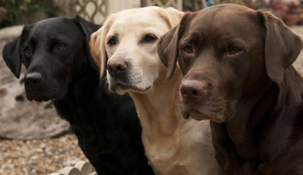 Imagenes De Perros Labradores Para Usar Como Fondo De Pantalla