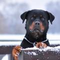 Imagenes Para Usar Como Fondo De Pantalla De Perros Rottweiler