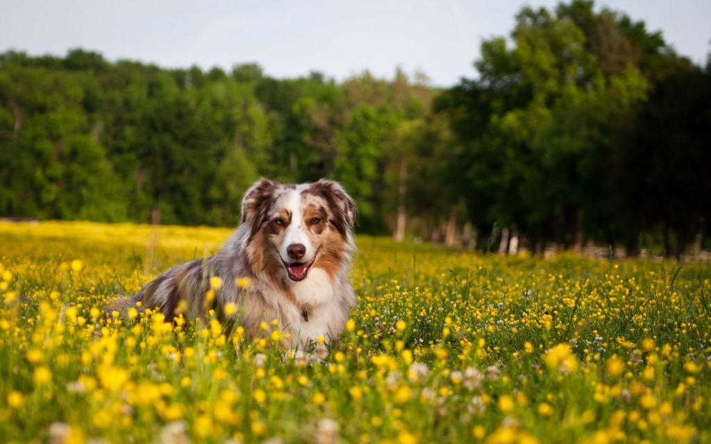 Imagenes de fondo de pantalla de un campo de flores con un perro