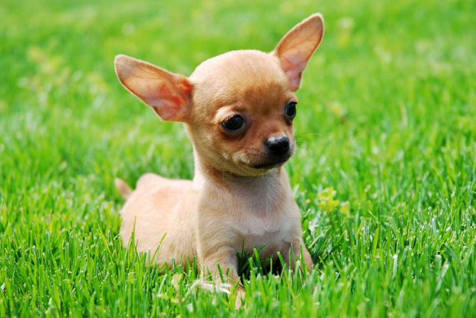Imagenes de perritos chihuahua para el celular