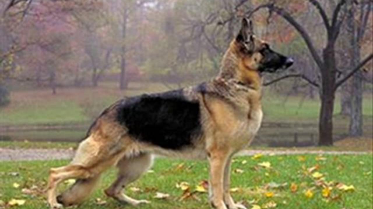 Imagenes de perros alemanes wallpaper