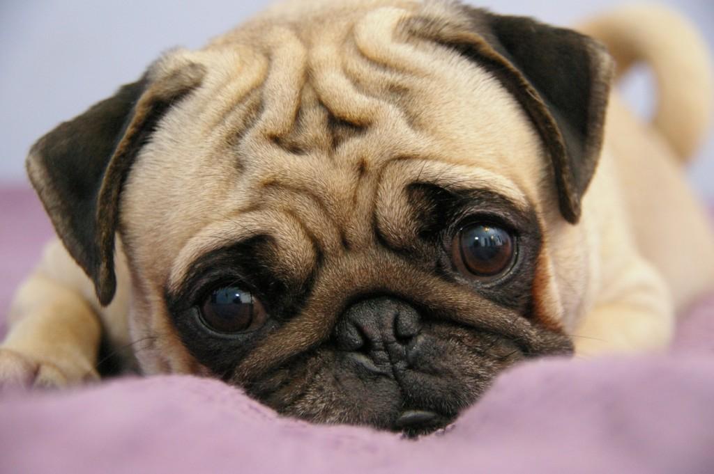 Imagenes de perros de raza pug