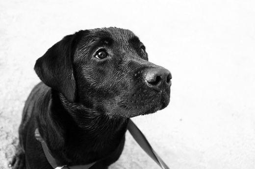 Imagenes de perros negros grandes