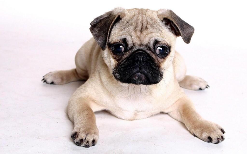 Imagenes de perros pug para el celular
