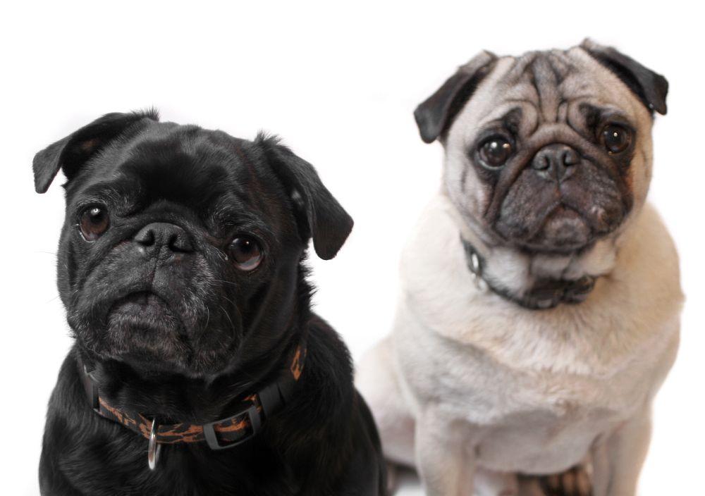 Imagenes de perros pug para -fondo de pantalla