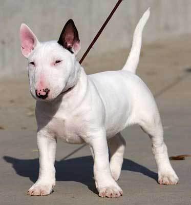 Imagenes de un bull terrier ingles blanco