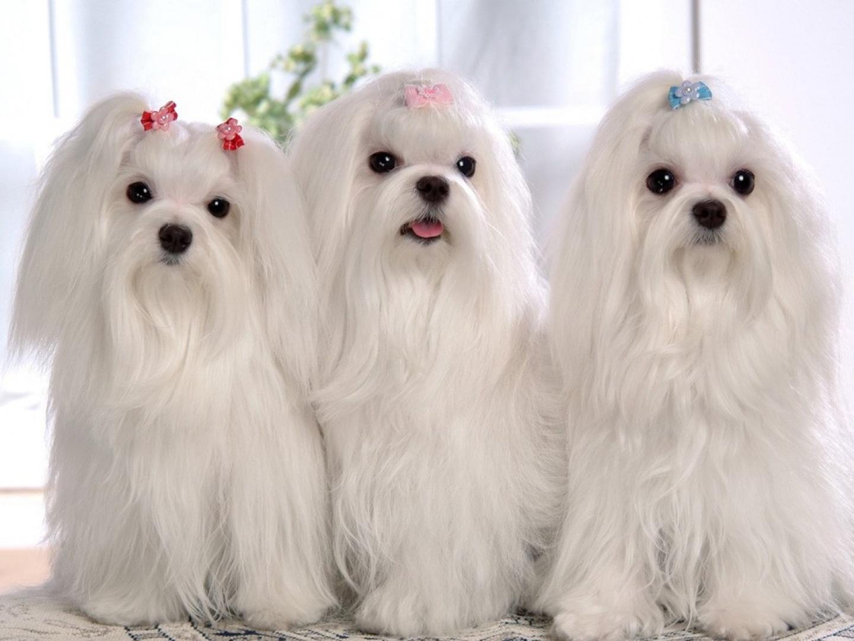 Lindos perros de color blanco