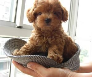 Los 10 Perros De Raza De Perros Mas Pequeños Del Mundo